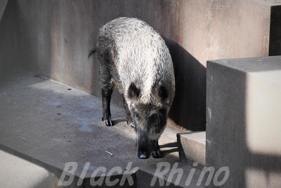 ニホンイノシシ01 羽村市動物公園