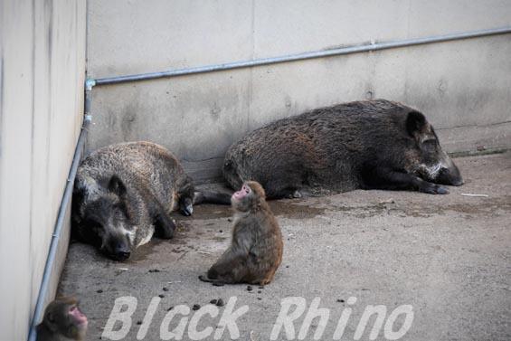 ニホンイノシシ02 羽村市動物公園