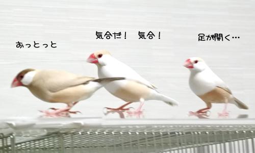 文鳥で遊んでみる_3