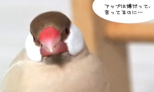 文鳥を見つめてはいけない_1