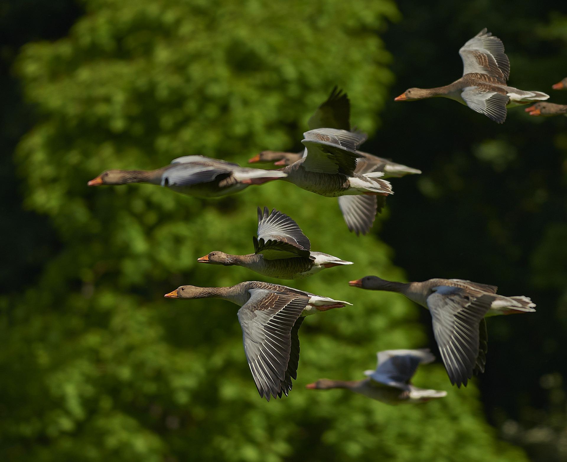 flock-of-birds-350290_1920のコピー