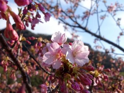 保田川 頼朝桜