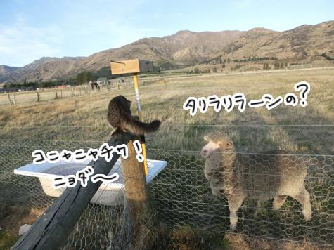 羊の国のラブラドール絵日記シニア!!「好奇心炸裂!」2