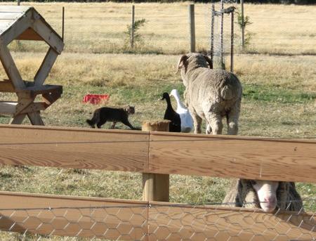 羊の国のラブラドール絵日記シニア!!「今週末の予定」5