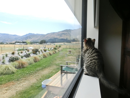 羊の国のラブラドール絵日記シニア!!「災い転じて・・・ひょっとして?」猫写真2