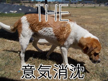 羊の国のラブラドール絵日記シニア!!「いろいろな温度差」4