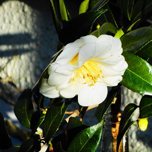 ①白椿 20160104