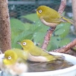 ⑬メジロ 仲良く水浴び