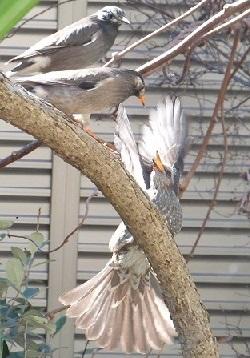 縄張り争い⑤ヒヨドリvs二羽のムクドリ
