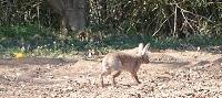 野ウサギ③20130315