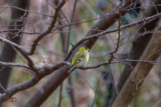 20160116野鳥05