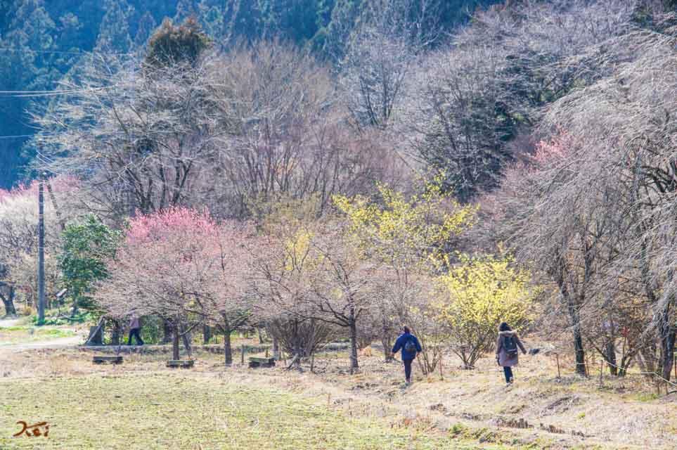 20160228節分草_星野の森01