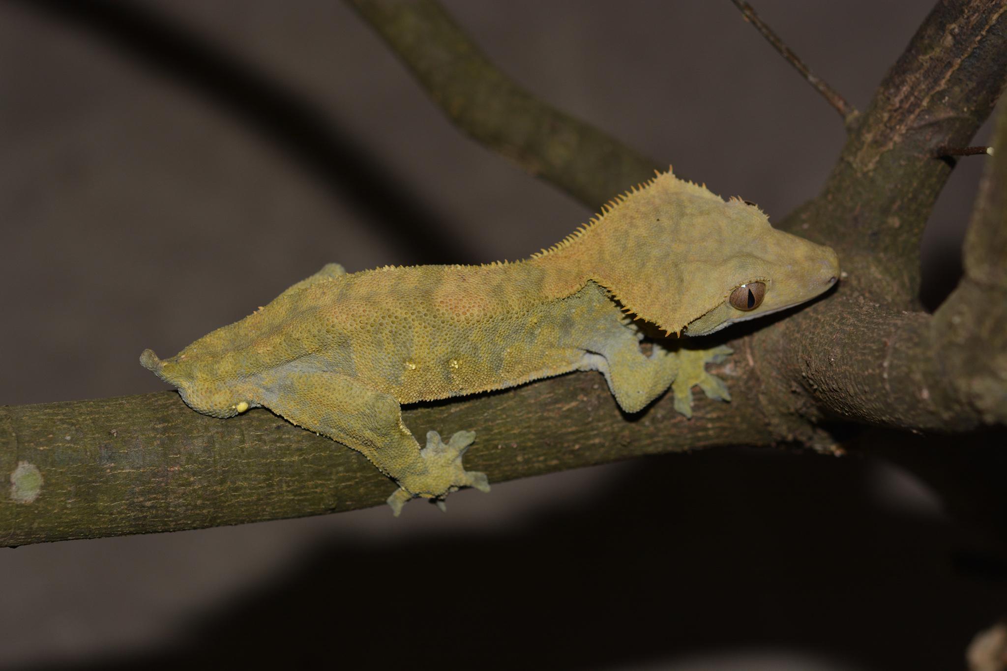 Correlophus_ciliatus_03.jpg