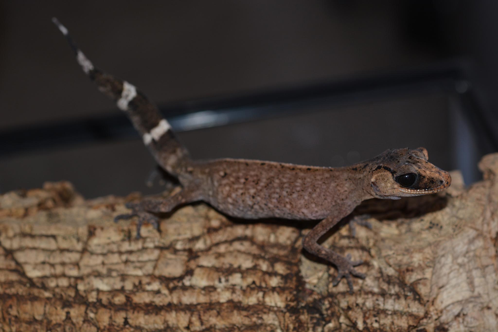 carphodactylus_laevis_female05.jpg