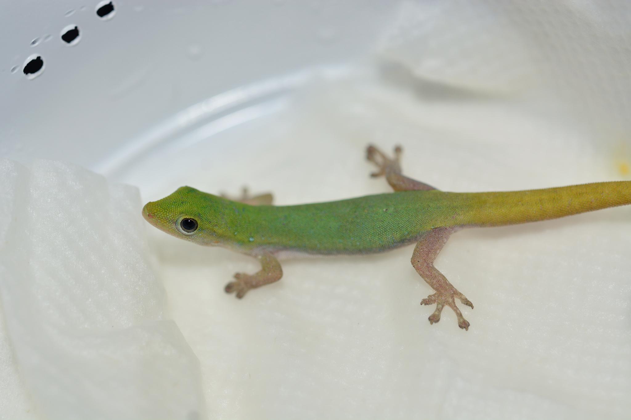 lygodactylus_conraui_female01.jpg