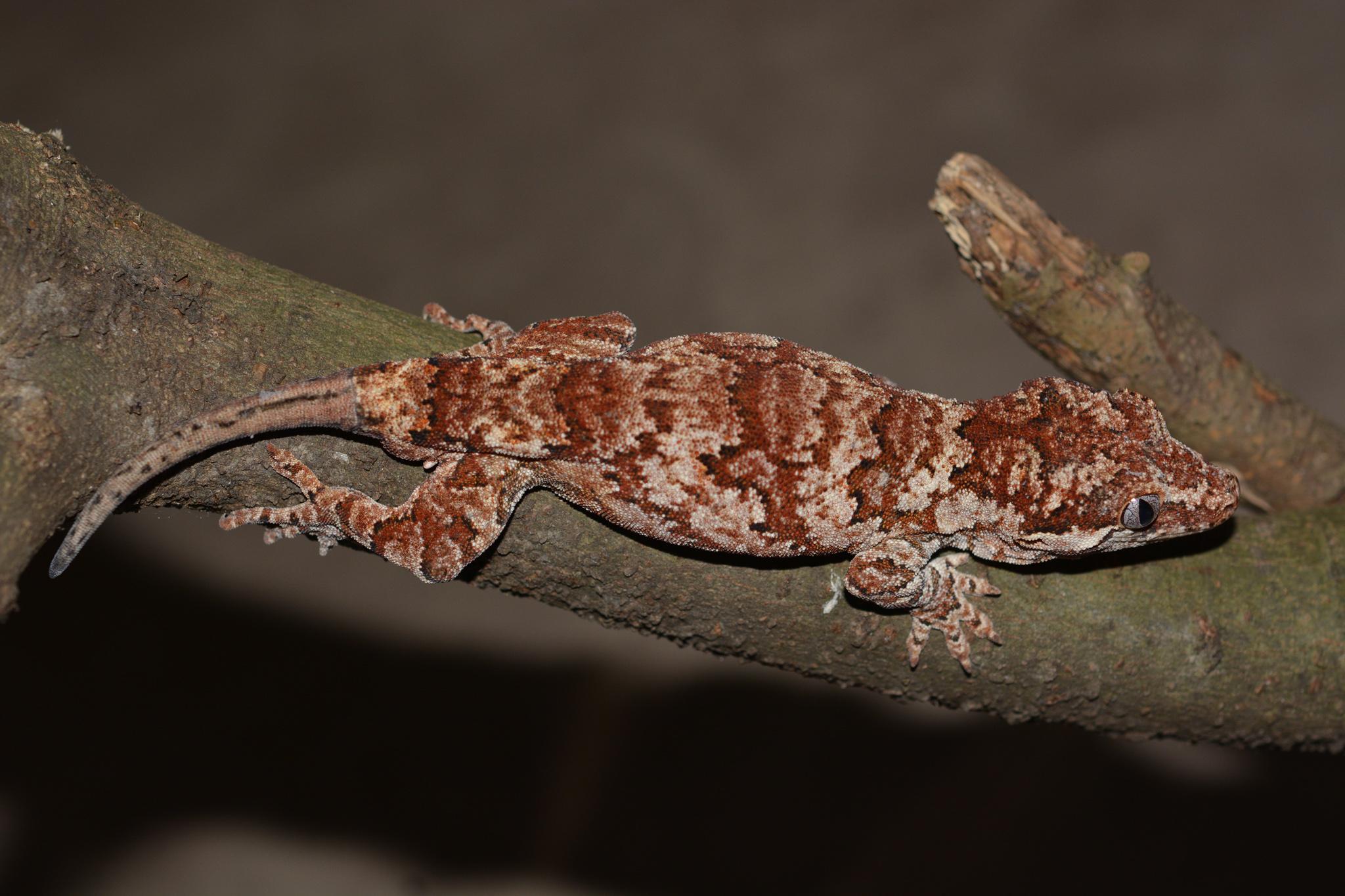 rhacodactylus_auriculatus_male04.jpg