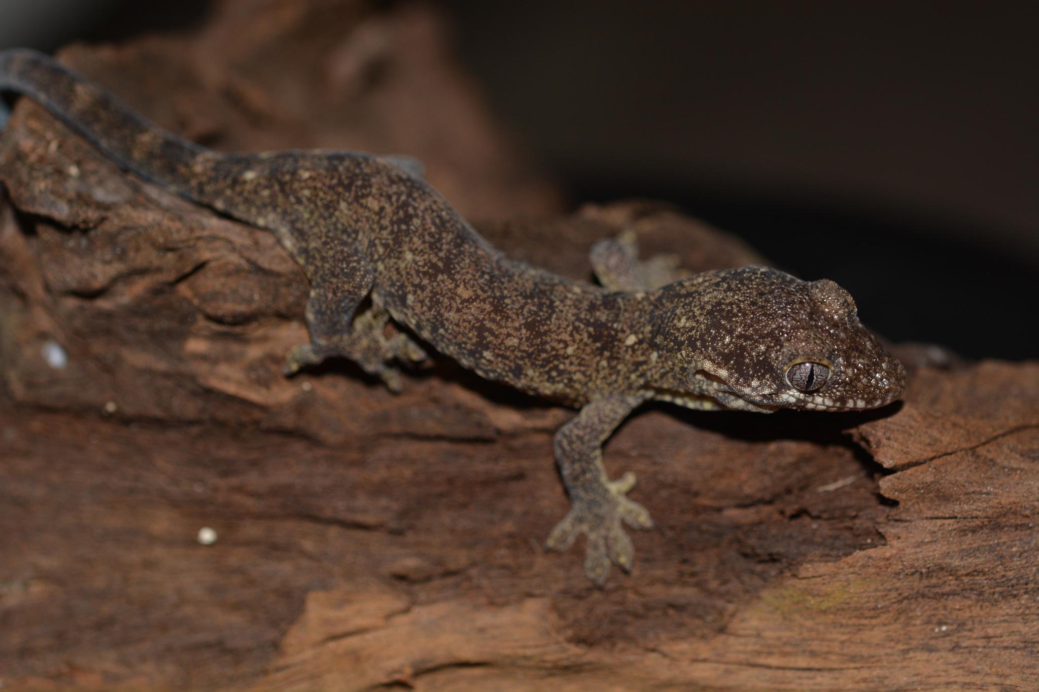 rhacodactylus_trachycephalus_01.jpg
