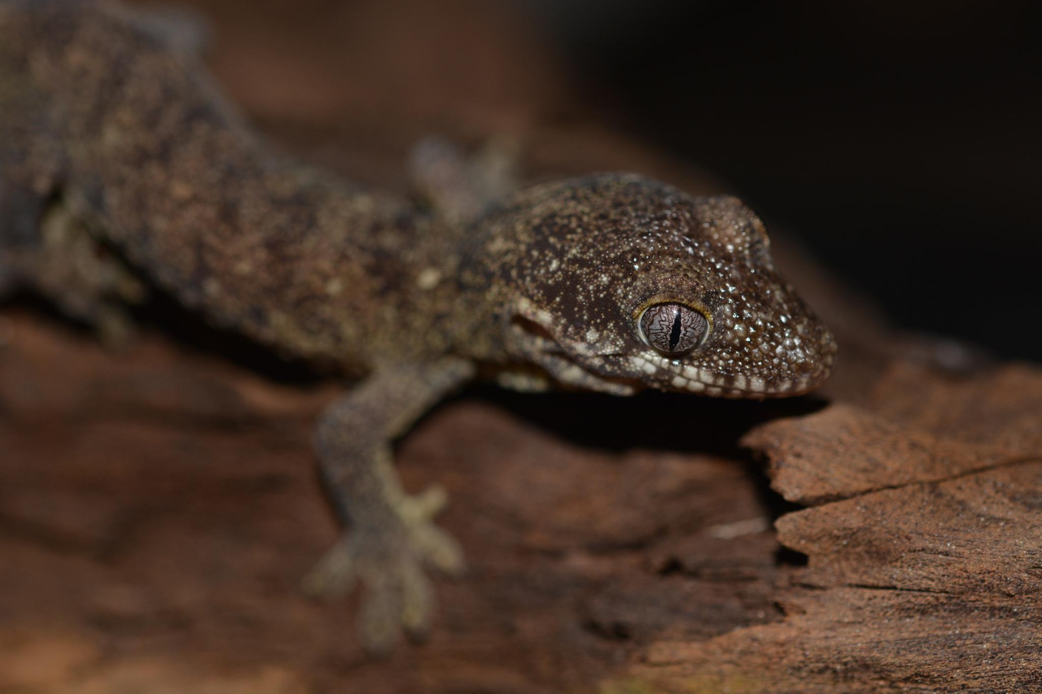 rhacodactylus_trachycephalus_02.jpg