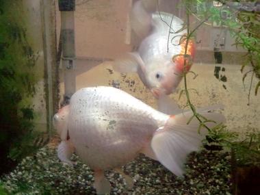 高級金魚w