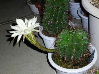 151103_3573今夜の子サボテンの花・横からVGA
