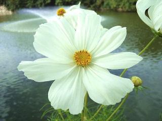 151106_3580池のほとりに咲くコスモスの花VGA