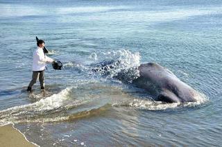 160120_徳島県阿南市中林海岸に打ち上げられた体調10mのマッコウクジラ_20160120-570-OYT1I50016-L_640x423