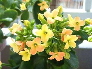160311_3825今朝の「カランコエ」の花VGA