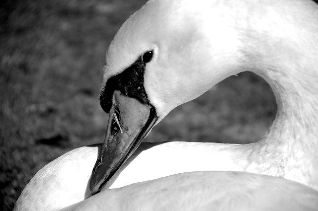 志高湖の白鳥さん