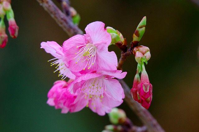 シグマAPO50-500描写テスト 1 河津桜