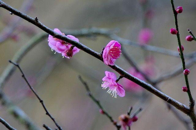 吉野梅園の梅の花
