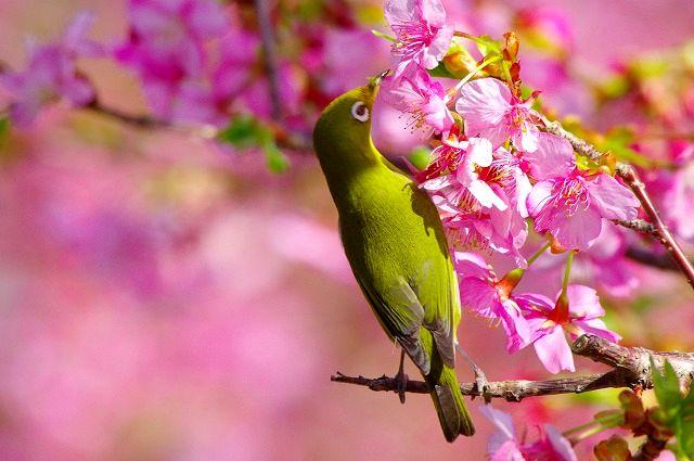 河津桜とメジロン
