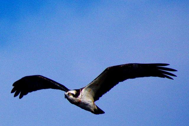 Ospreyはミサコに隠れてこっそりお魚食べていた件