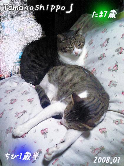 仲良く寝てる猫(ちびとたま)お布団の上
