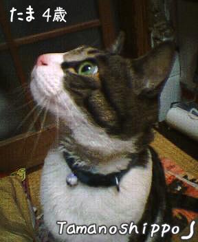 ちょっとビックリなお顔の猫(たま)