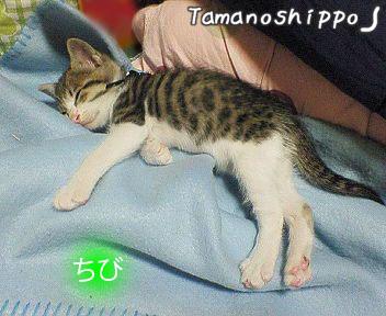 寝倒れている猫(ちび)ね・・・眠い