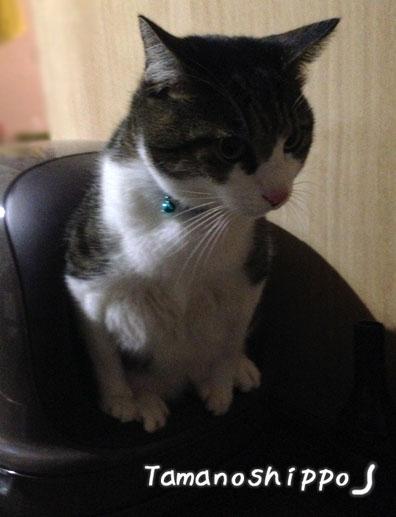 トイレ中の猫(ちび)オシッコ