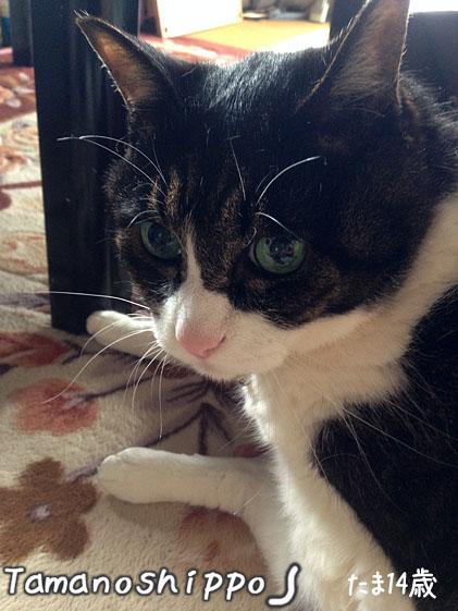 振り向く猫(たま)おすまし猫さん