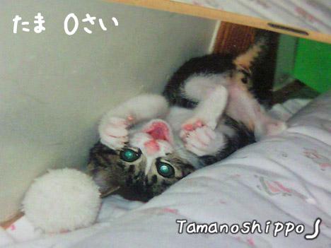 おもちゃで遊ぶ赤ちゃん猫(たま)