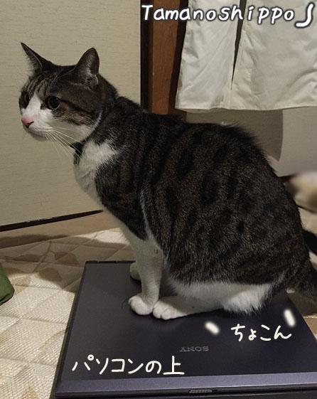 ノートパソコンの上に乗る猫(ちび)