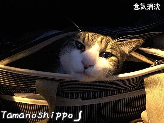 車の中でボーとする猫(ちび)帰り