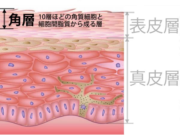 角層。角質細胞と細胞間脂質 ニキビ跡