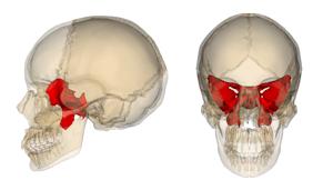蝶形骨の位置
