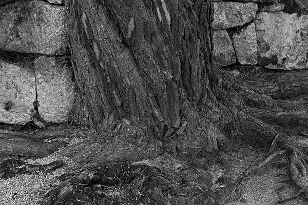 石垣と木の根