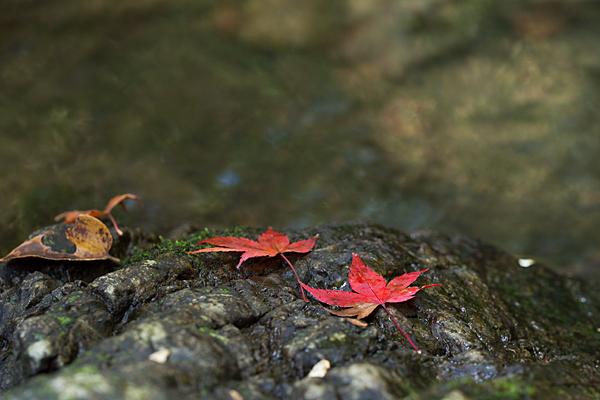 岩に赤いモミジ