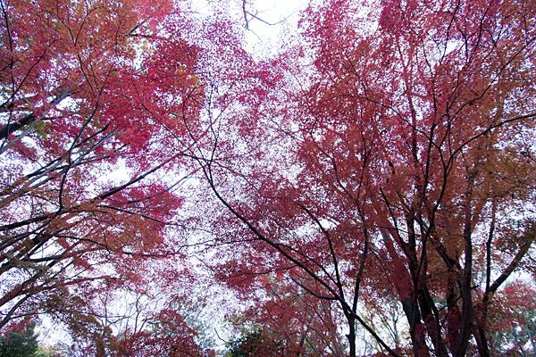 森林公園モミジ紅葉