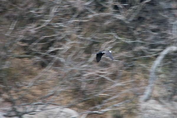 飛ぶカワウ