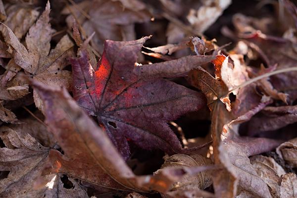 赤残りのモミジの葉