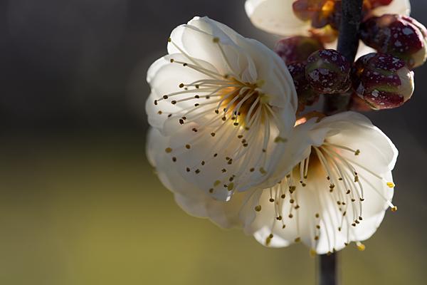 梅の花10