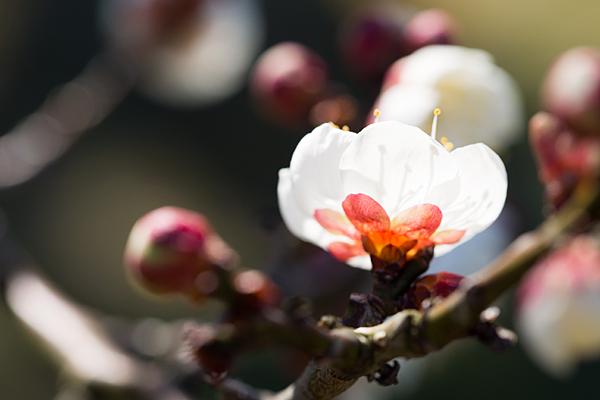 梅の花11