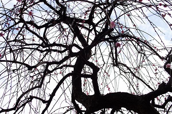 梅の幹と枝